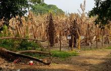Despidos masivos en bananeras guajiras tras emergencia por presencia del hongo R4T