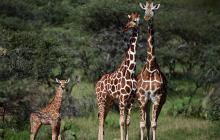 """La Jirafa y su amenaza de """"extinción silenciosa"""" en África"""