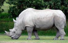 Científicos intentan salvar de la extinción al rinoceronte blanco del Norte
