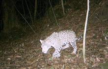 Jaguar baja de la Sierra acosado por el hambre y los incendios