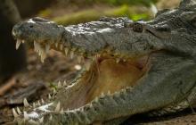 Desde 2003, este macho de 11 años vive en el zoológico de la ciudad. Esta especie está en peligro de extinción.
