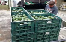 Sale primera exportación de aguacate hass de Colombia a Japón