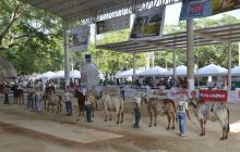 Ganado bovino de varias razas será el protagonista principal durante la 44ª Feria Ganadera de Sabanalarga.