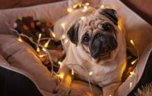 Cómo relajar las mascotas por el ruido de las fiestas de fin de año