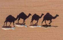 En Australia matarán 10.000 camellos salvajes por la sequía