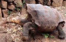 En video | Diego, la tortuga de Galápagos que salvó a su especie, será liberada