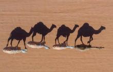 Camellos caminan por el desierto.