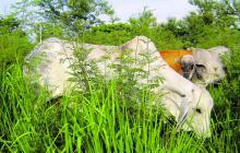 Si hay una carne sana es la colombiana: Fedegan – FNG