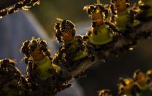 En video | Apicultores en Nicaragua crían abejas reinas para paliar efectos de la sequía