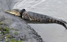 Ofrecen recompensa por quitar un neumático del cuello de un cocodrilo gigante