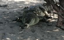 Caimán aguja visto en Neguanje.