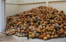 """Con ahuyama y batata plantean """"revolución"""" agraria  La Guajira"""