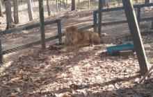 'Júpiter', el león desnutrido que conmueve al país
