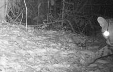 El tigrillo u ocelote en una de sus salidas en el parque Tayrona.