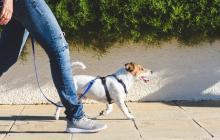 Durante el paseo es importante que el amo se concentre en la actividad que está realizando. De igual forma, que el perro acelere el paso por trayectos.