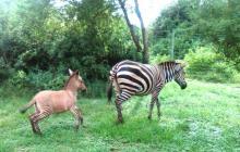 Nace en Kenia una cría híbrido de cebra y burro