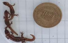 La especie de lagarto más pequeño del mundo.
