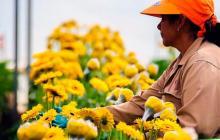 Floricultura colombiana, en incertidumbre pese a fiesta del Día de la Madre