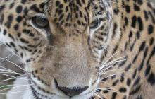 Un jaguar, con sus crías, se dejó ver en Santa Marta durante cuarentena