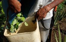 Más de 230 mil familias campesinas dependen del cultivo de coca en Colombia