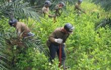 Erradicación de hoja de coca genera roces en Córdoba