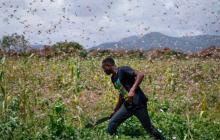 Ola de langostas amenaza seguridad alimentaria en África oriental y central