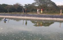 Envenenan estanque piscícola en finca de Valledupar