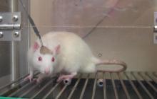 Ratones, cerdos o macacos, imprescindibles para investigar y superar la COVID