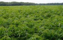 Radicarán proyecto para regular el consumo de marihuana