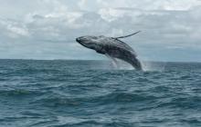 Ballenas jorobadas llegan a los parques naturales del Pacífico colombiano