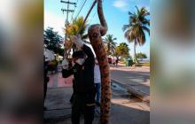 La boa constrictor que estaba en las playas de Castillogrande, Cartagena.