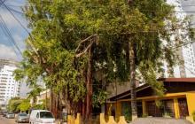 Alcaldía no da permiso para talar árbol bicentenario en Manga
