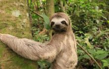 Oso perezoso de tres dedos es liberado en reserva natural en el Cesar