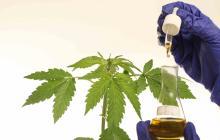 En video   Cannabis, una salida para paliar el dolor crónico en el Caribe