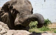 El elefante y otros cientos de animales esperan por una solución.