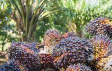 El departamento del Cesar es el principal cultivador de aceite de palma de Colombia.  Holanda compra el 30,9% de lo que produce esta zona de la región Caribe.