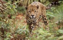 Jaguar captado en una selva de Latinoamérica.