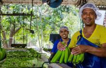 Bananeros de la Costa sonríen por buenas exportaciones en la pandemia