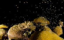 Graban desove de colonias de corales en Parque Natural Corales del Rosario