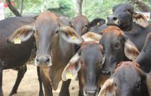 Chile reabre mercado a carne bovina de Colombia