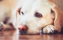 Los perros con anemia canina pueden mostrarse con desánimo para hacer sus actividades comunes.