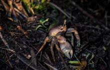 Concesión avanza en estudio para la preservación del cangrejo azul