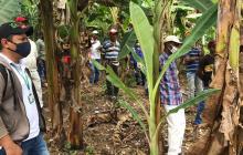 Unicor propone estrategia para controlar plaga en cultivos de plátano