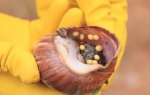 Erradican invasión de caracoles africanos en cultivos en La Paz, Cesar