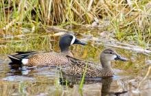 Campaña para proteger el pato barraquete en la Ciénaga Grande