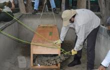 En Ciénaga Grande liberarán Caimán Aguja con un dispositivo satelital
