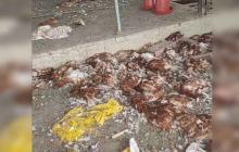 Policía investiga el robo de 20 mil gallinas en un galpón en Repelón
