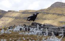 Tras la pista del nido del cóndor en la Serranía del Perijá