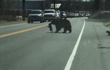 Mamá osa intenta cruzar la calle con sus hijos