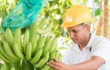 Banano colombiano participará en Expo Dubai